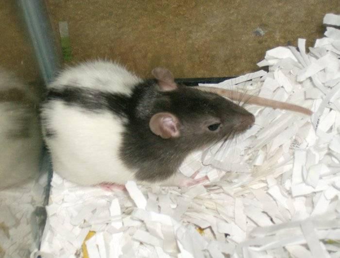 Домашняя декоративная мышь: уход и содержание в домашних условиях, фото белого мышонка с красными глазами, как правильно ухаживать и можно ли мыть