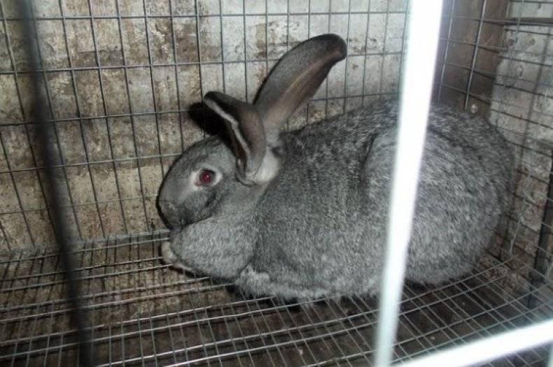 Кролики серый великан: разведение и содержание в домашних условиях, описание породы