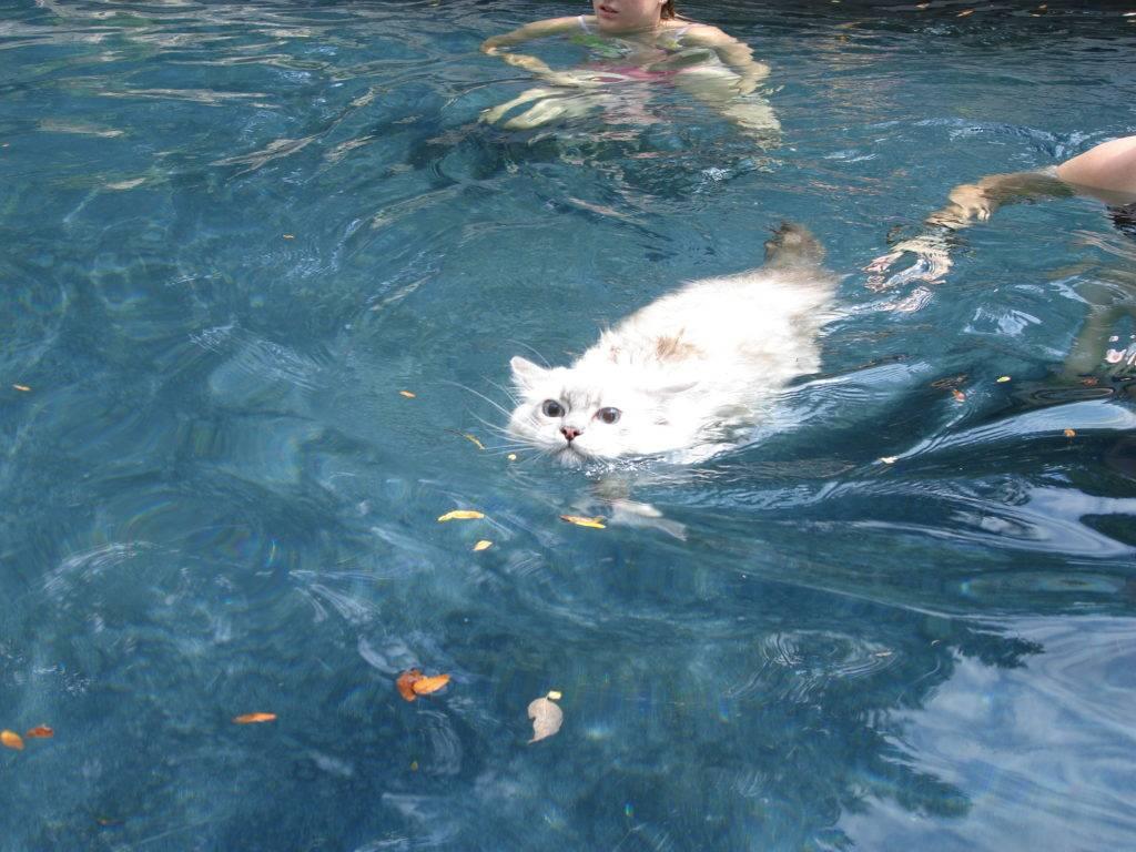 Кошки, которые любят воду и купание