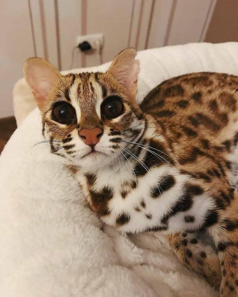Маленький леопард дома: что за порода и сколько стоит? кошка — леопард бельгийский большой котёнок