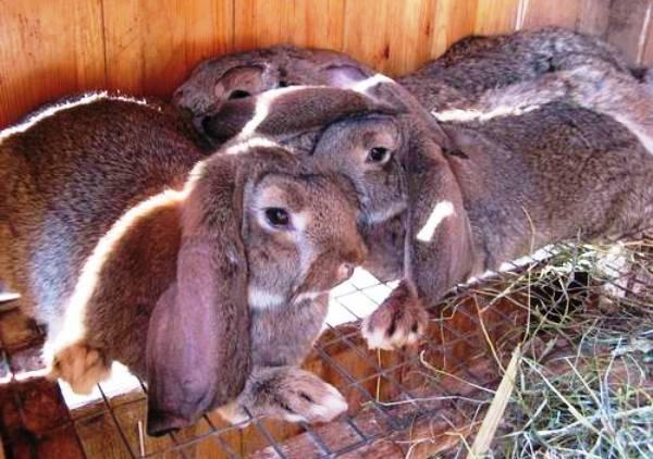 Кролики породы баран: разведение, содержание, характеристики