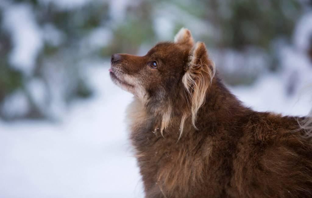 Ненецкая лайка: эксклюзивная порода с большим рабочим потенциалом