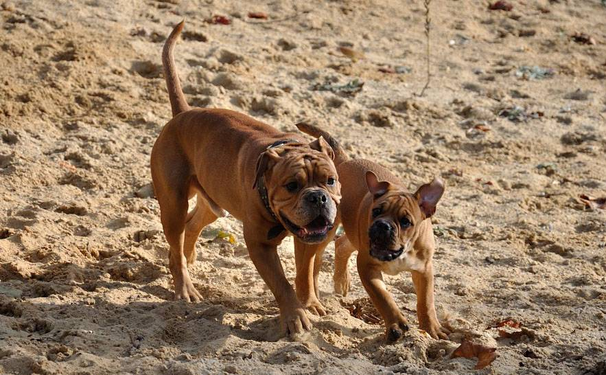 Французский бульдог — фото, описание породы, особенности собаки