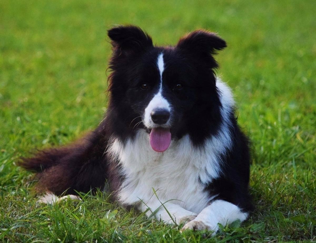 Бордер-колли: характеристика породы, особенности содержания идрессировки умнейшей собаки вмире