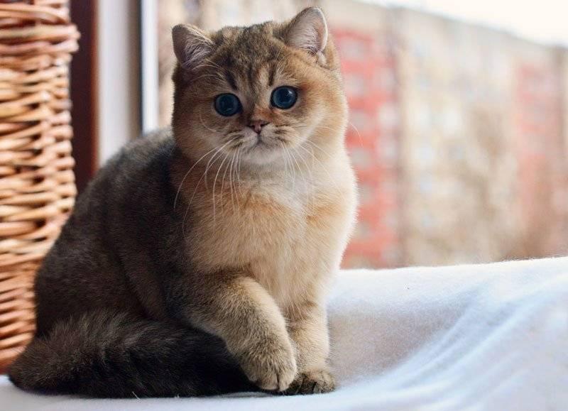 Шотландская шиншилла: фото, описание, окрас, характер кошек