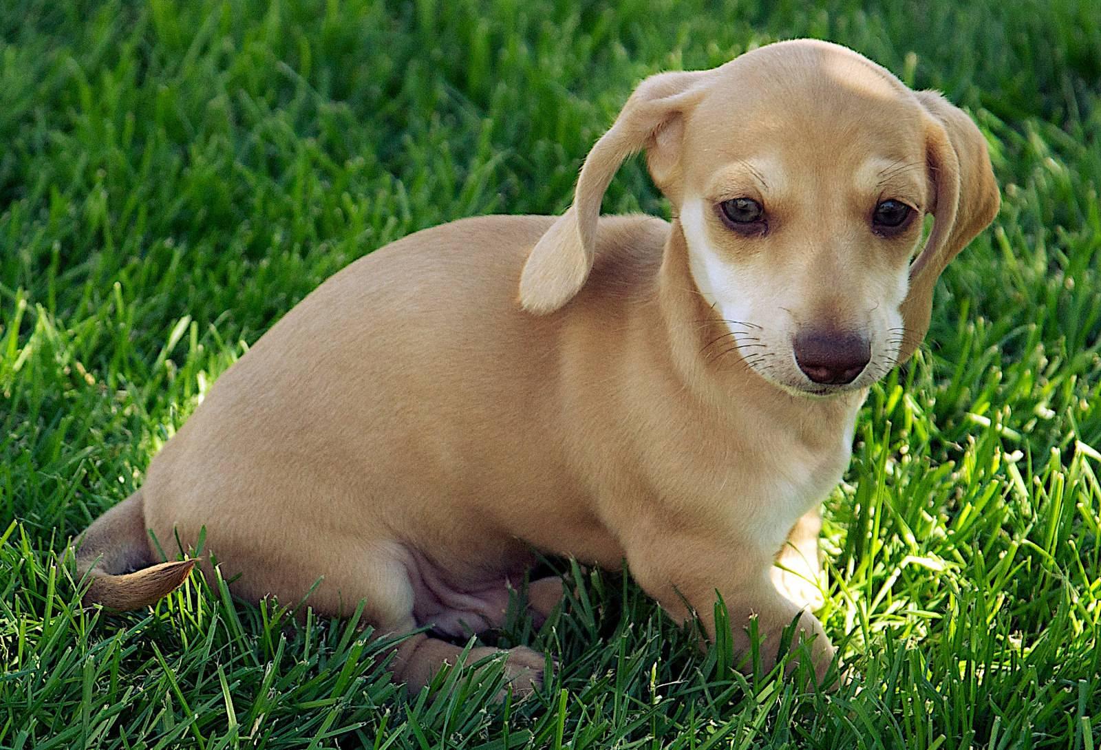 Как назвать таксу мальчика: красивые имена для щенка