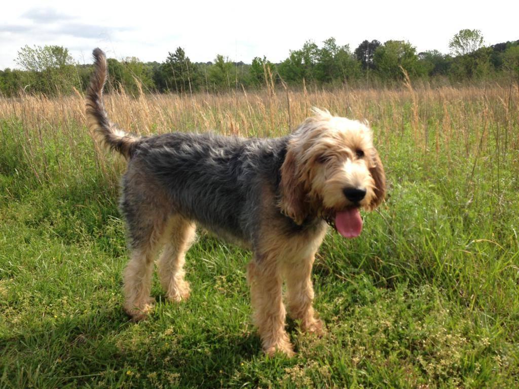 Оттерхаунд (выдровая гончая): описание породы собак с фото и видео