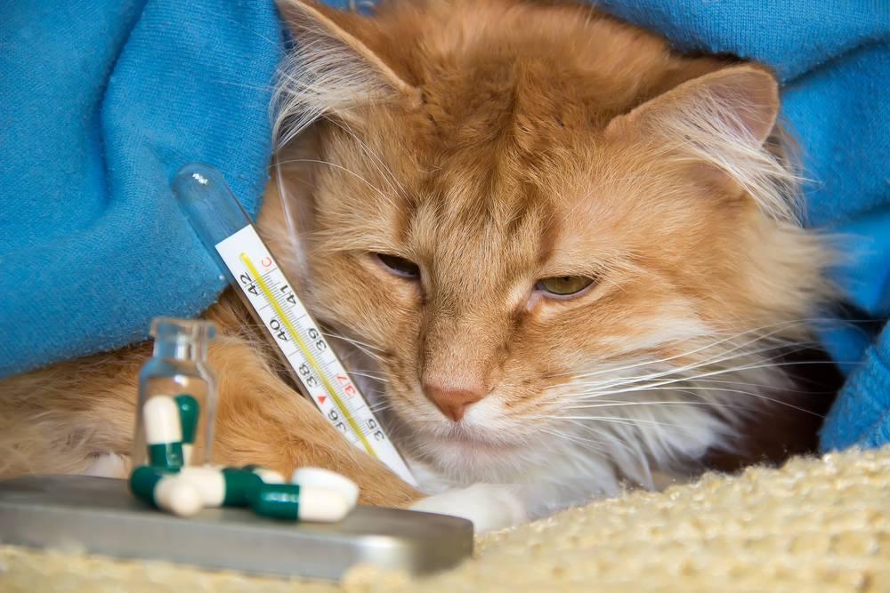 Простуда у кошек: может ли заразиться от человека и заразить его, какие симптомы, признаки и способы лечения в домашних условиях