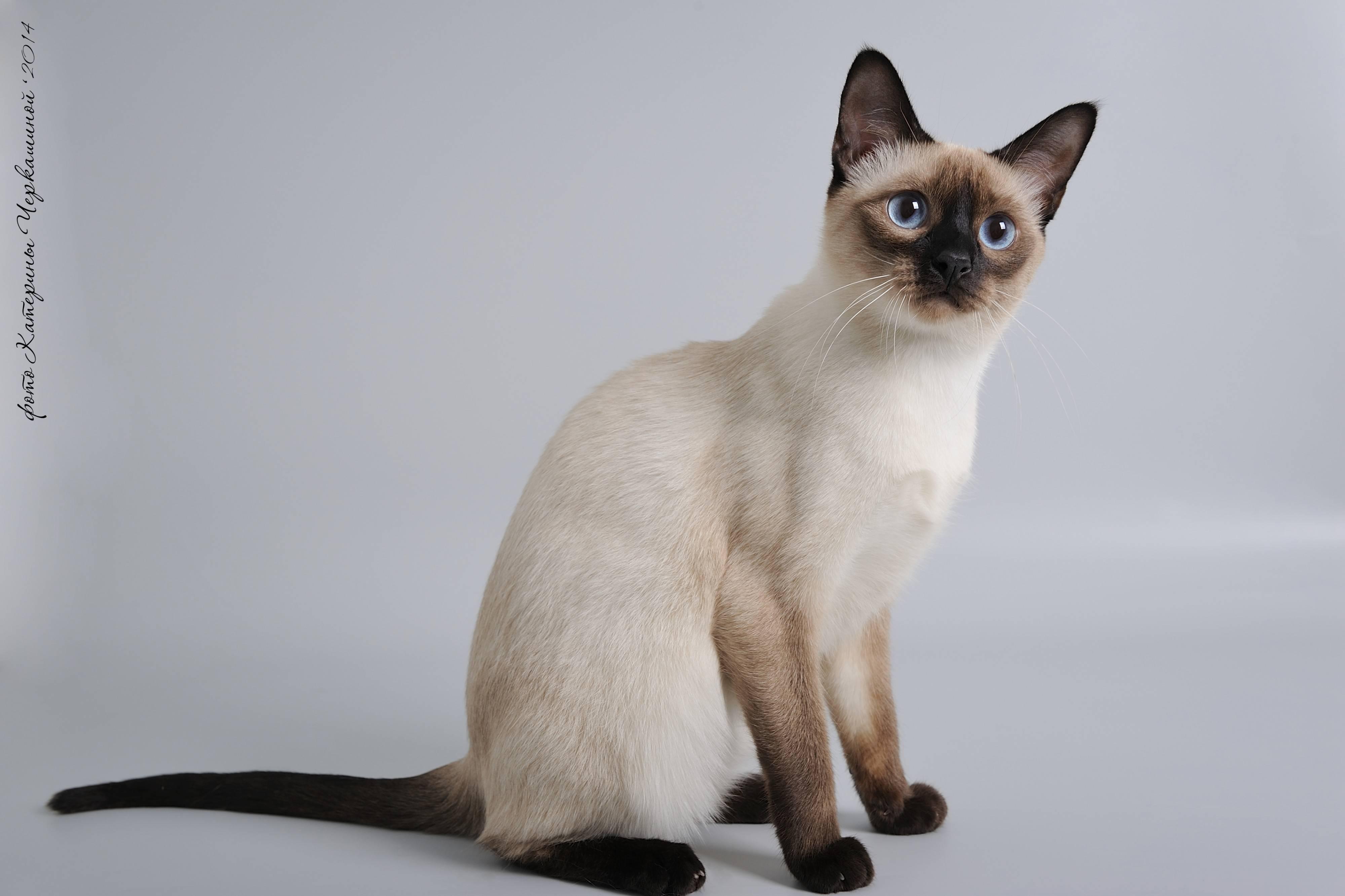 Как выглядит тайская порода кошек, как за ней ухаживать и дрессировать?