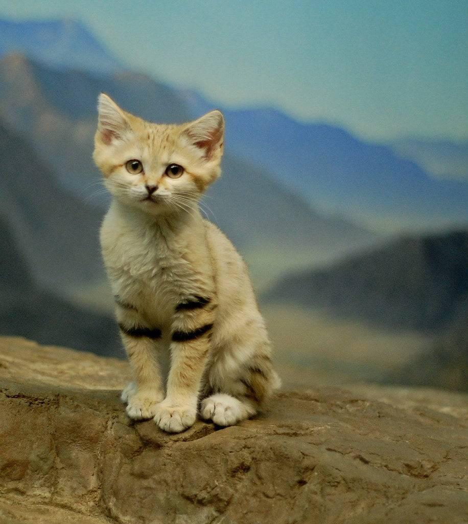 Барханный кот – житель пустыни