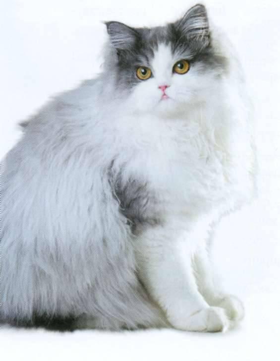 Лучшие породы длинношерстных кошек: белые с рыжим, серые и другие вариации