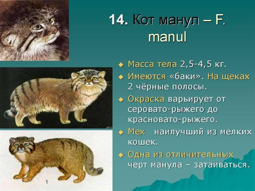 Манул – фото, описание, ареал, рацион, враги, популяция