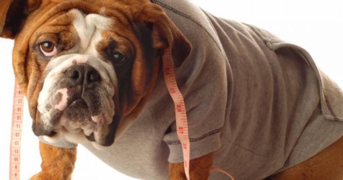 Борьба с ожирением домашних животных