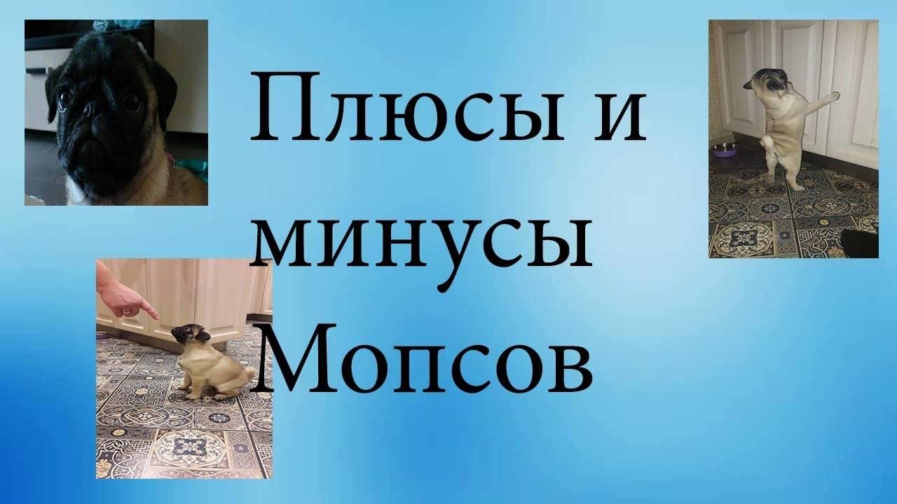 Уход за мопсом и особенности содержания этой породы в домашних условиях