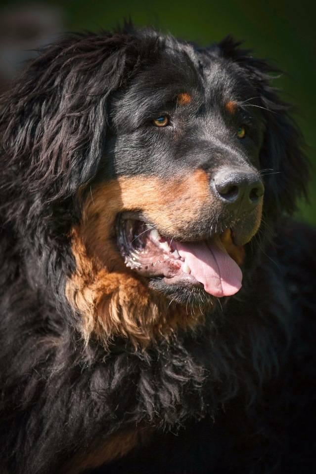 Описание породы собак бурят-монгольский волкодав (хотошо) с отзывами владельцев и фото
