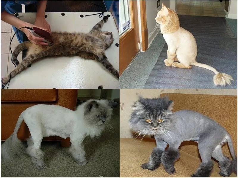 Как постричь кошку: порядок действий и виды стрижек