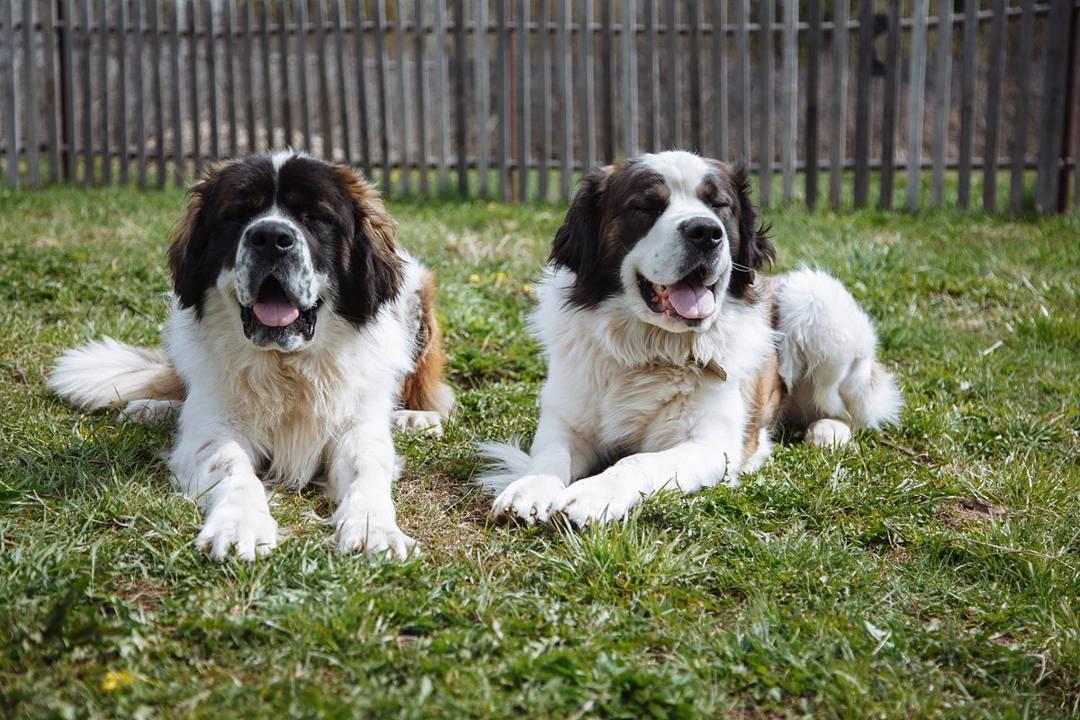 Московская сторожевая: история, характер собаки, стандарт и характеристики породы, фото, цена щенков