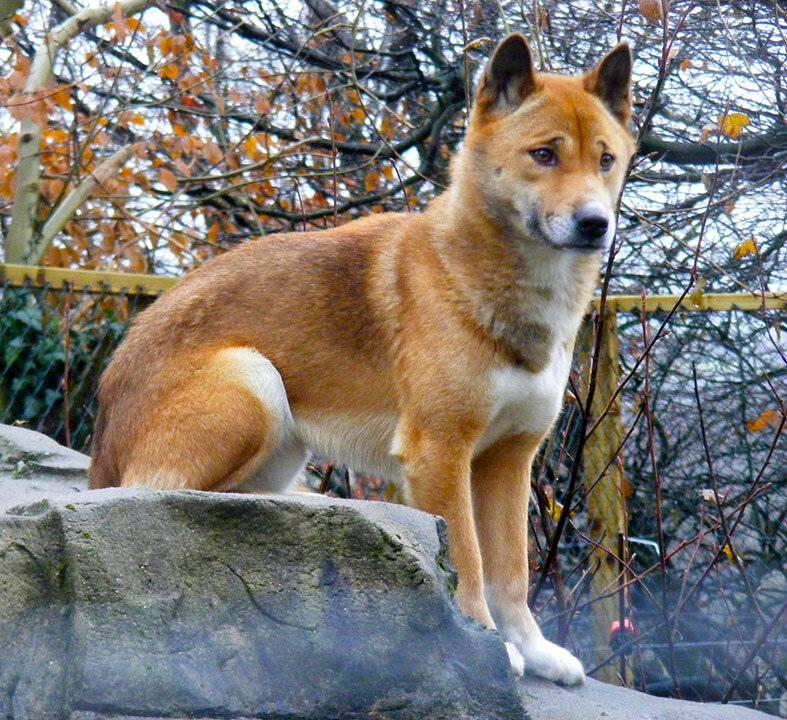 Новогвинейская поющая собака — вики
