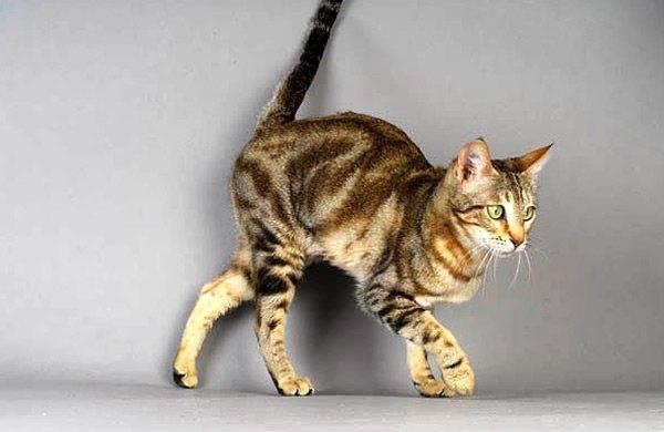 Каракет: описание породы кошек, характер, фото и цена