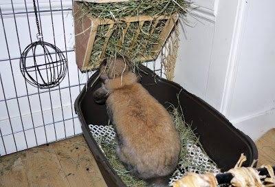 Как приучить декоративного кролика к лотку?