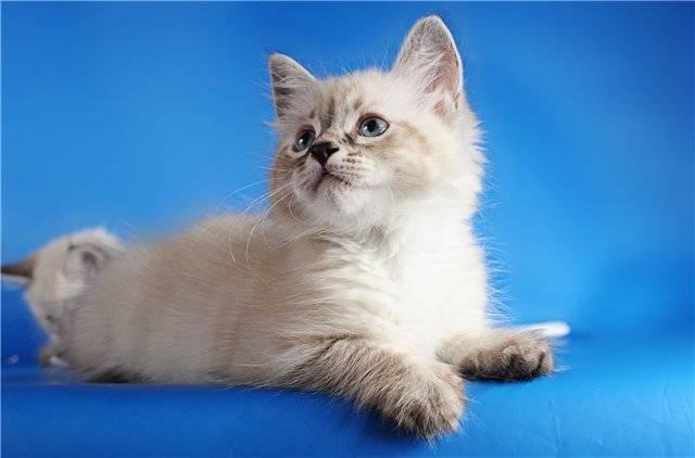 Невская маскарадная — кошка, собравшаяся на карнавал