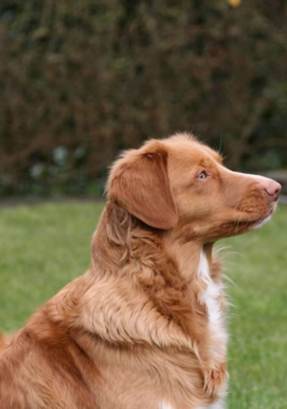 Толлер собака. описание, особенности, уход и цена толлера | животный мир