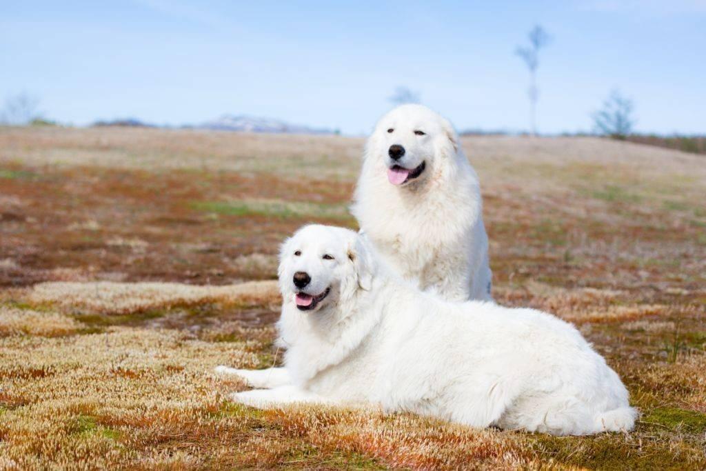 Маремма собака. описание, особенности, характер, виды, уход и цена мареммы   живность.ру