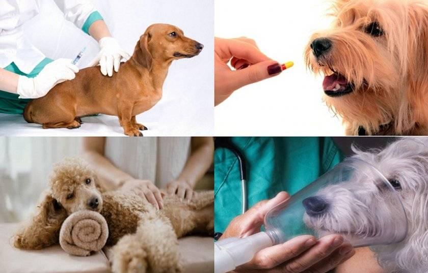 """Астма у собаки - симптомы и лечение бронхиальной астмы у собак в москве. ветеринарная клиника """"зоостатус"""""""