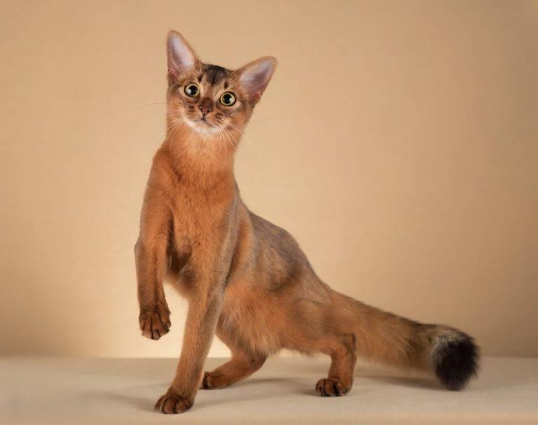 Сомали (кошка) — википедия. что такое сомали (кошка)