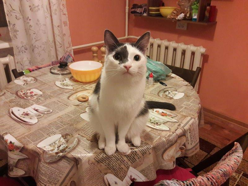 Как отучить кошек лазить по столу: проверенные методы