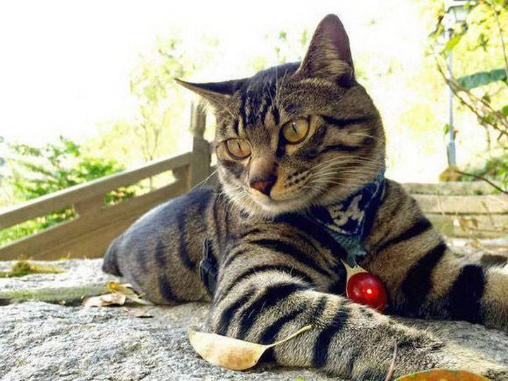 Китайская ли хуа (дракон ли): описание породы кошек, фото, видео