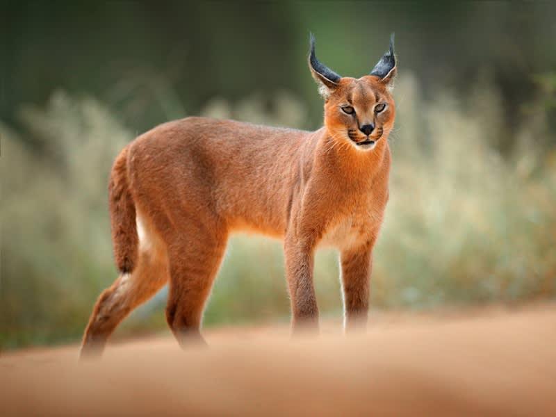 Каракал (пустынная или степная рысь): описание породы кошек, сколько стоит, содержание в домашних условиях