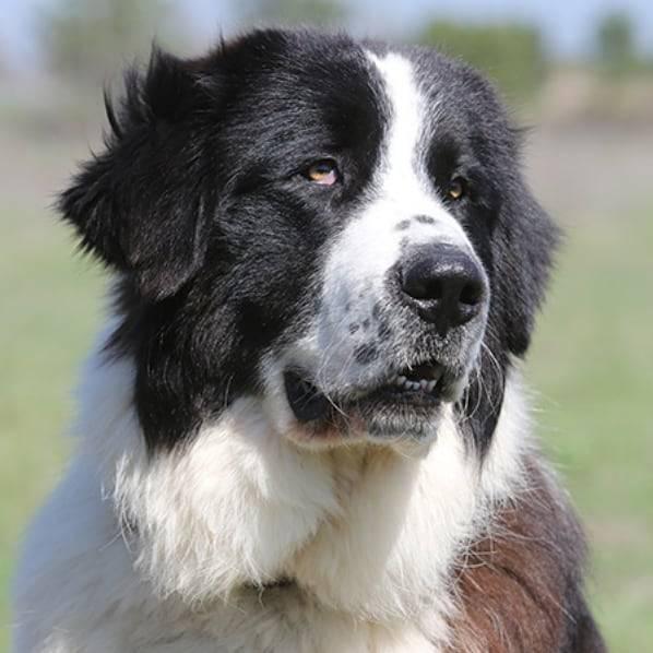 Восточно-европейская овчарка собака. описание, особенности, уход и цена породы | sobakagav.ru
