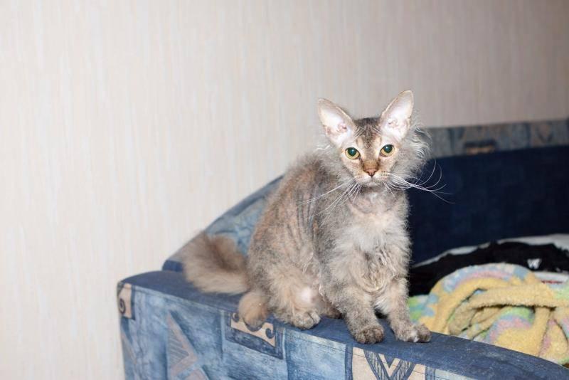 ᐉ метис кошка описание породы - zoomanji.ru