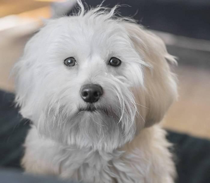 Котон-де-тулеар (28 фото): описание породы мадагаскарский бишон, особенности ухода за щенками и взрослыми собаками