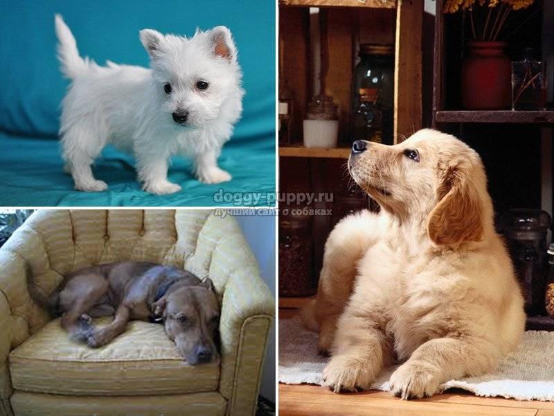 Самые лучшие собаки для квартиры — топ 20 пород