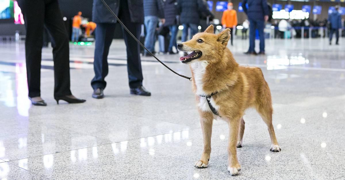 Знакомство с породой собаки сулимова — такое овчаркам не под силу