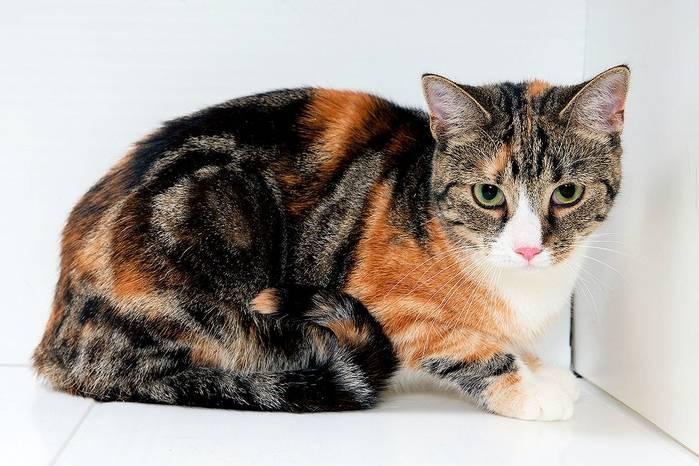 Эксклюзивные черепаховые кошки: в чём секрет их окраски