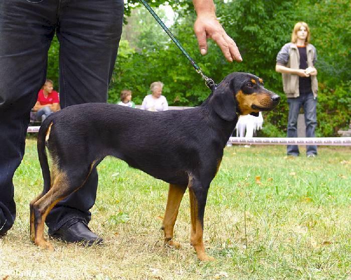 Эстонская гончая: описание породы, характер собаки и щенка, фото, цена