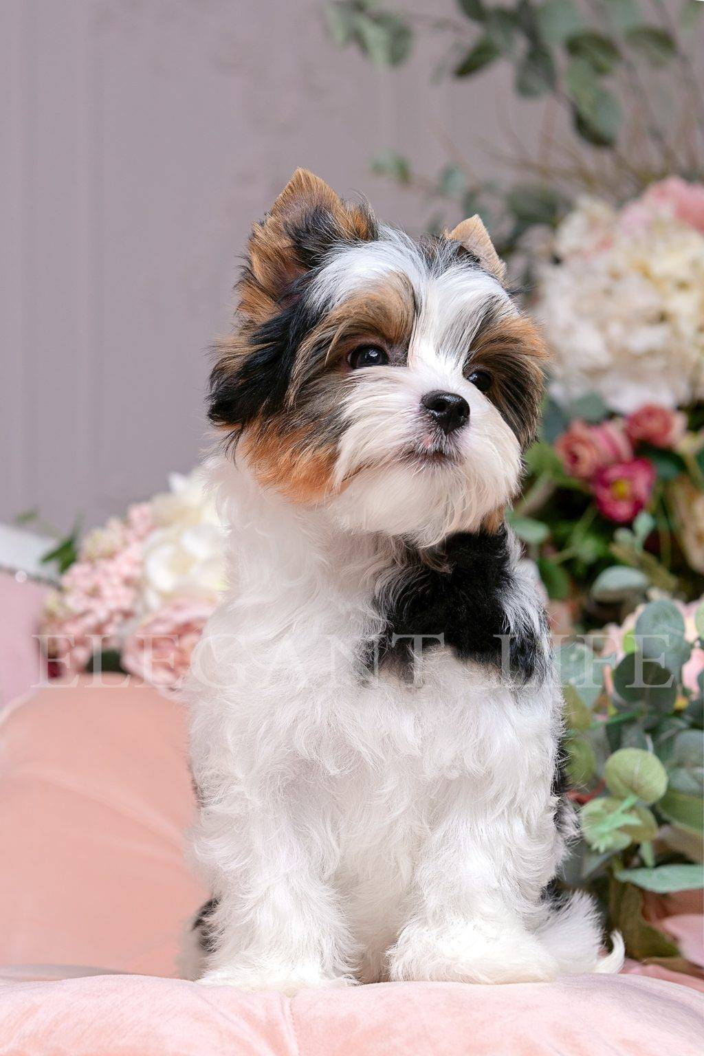 Бивер-йорк: фото собаки, все о породе