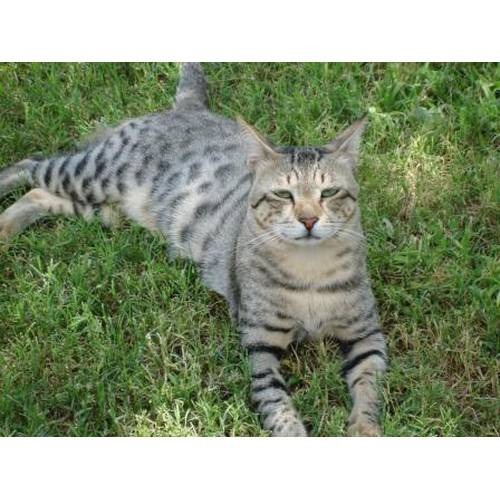 Кошки породы аравийский мау: описание и особенности ухода