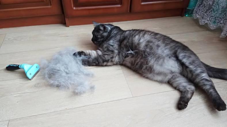 Кошка сильно линяет: причины, что делать в домашних условиях, сколько это длиться?