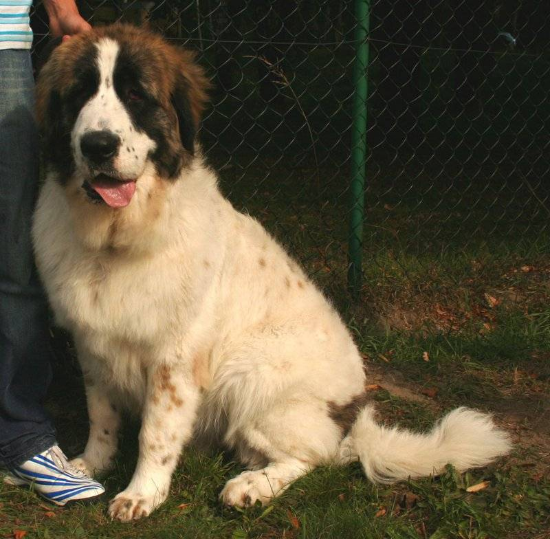Тибетский мастиф собака. описание, особенности, характер, уход и цена породы | живность.ру
