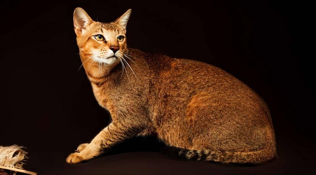 Тайская кошка: самое полное описание с фото и видео | pet7