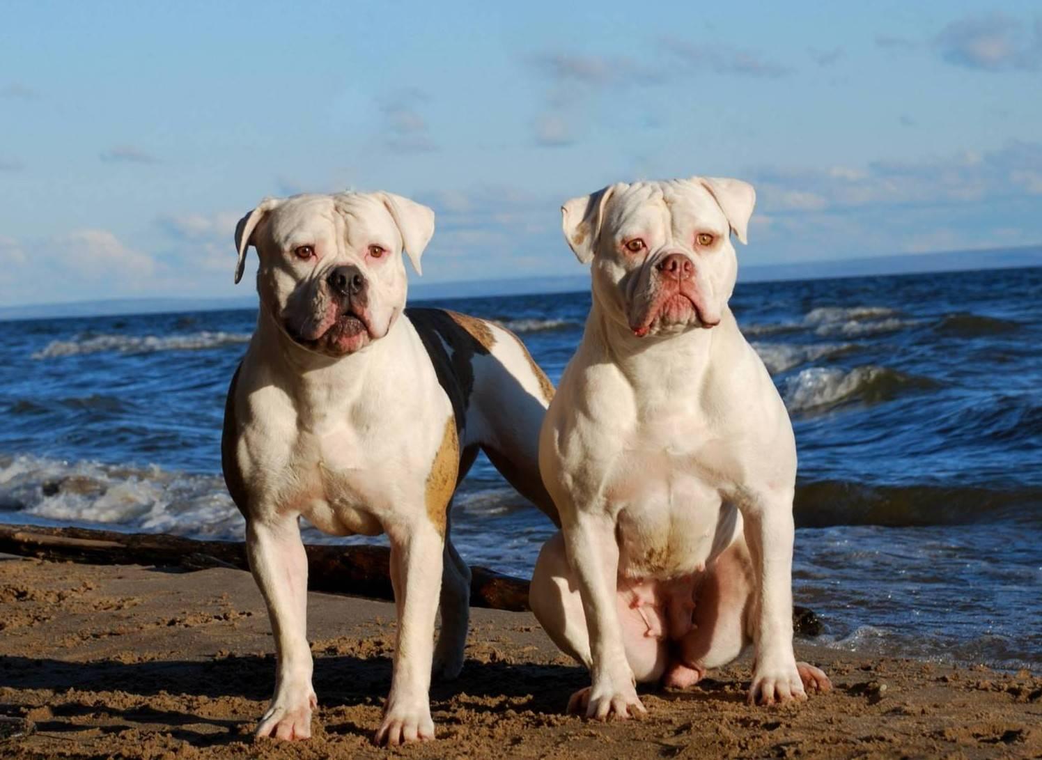 Характеристика собак породы американский бульдог с отзывами и фото