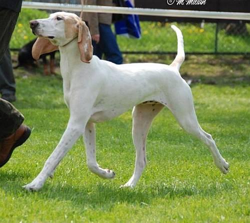 Фарфоровая гончая: описание породы, уход, характер | все о собаках