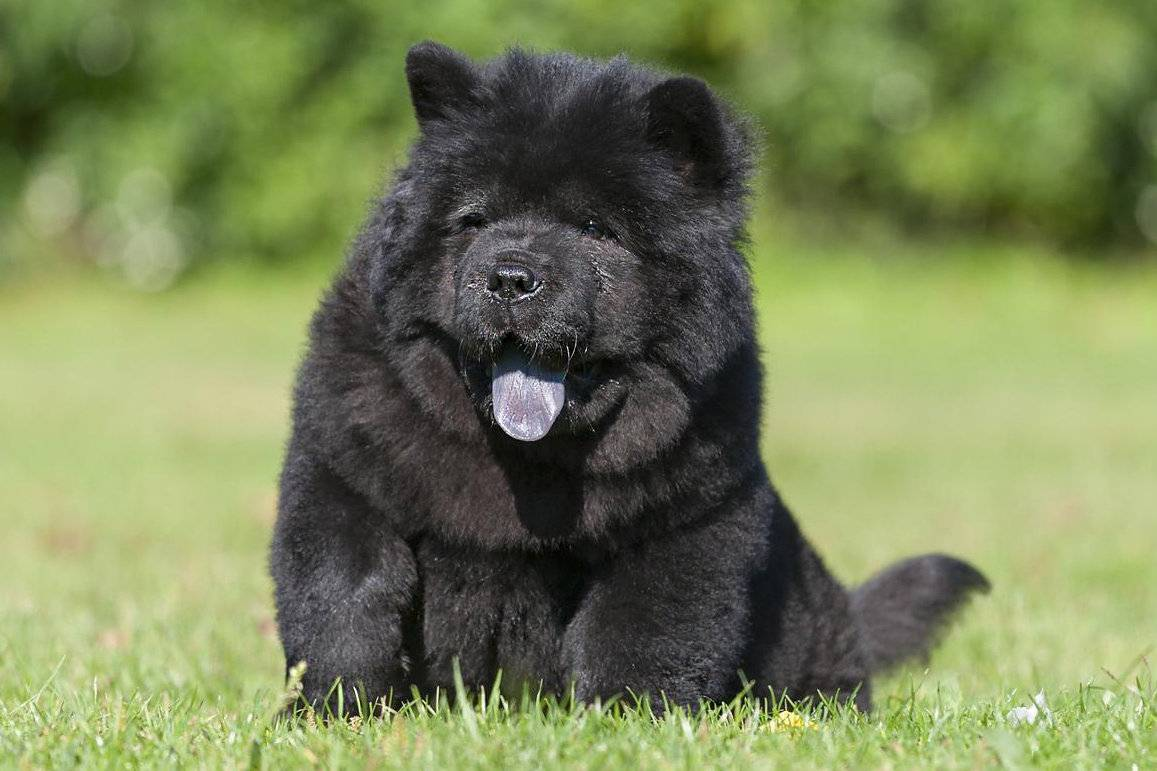 10 пород собак, похожие на медвежат: фото и названия