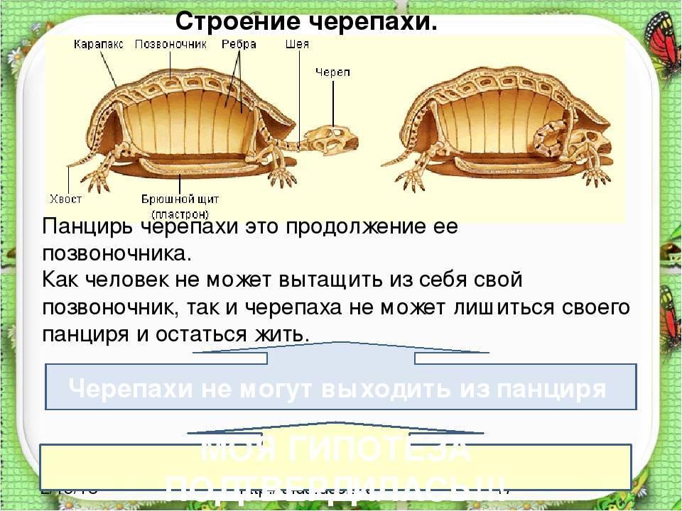 Сердечно-сосудистая и кровеносная система черепах
