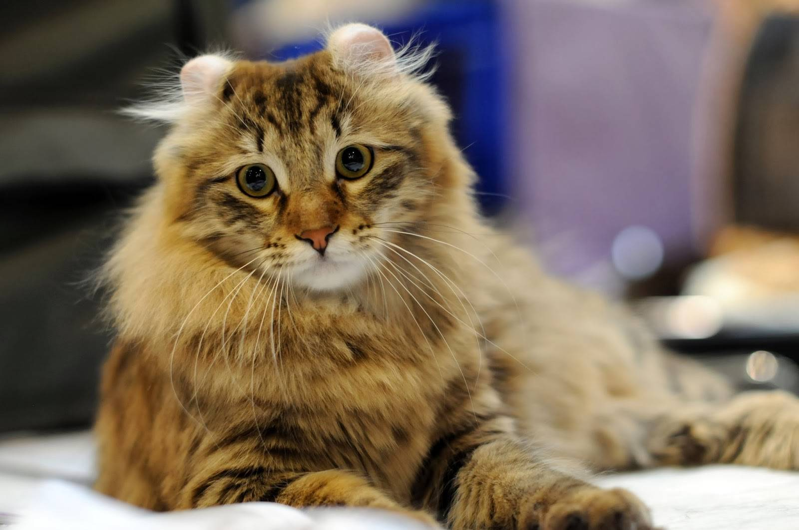 Американский керл кошка. описание, уход и цена кошки американский керл | животный мир