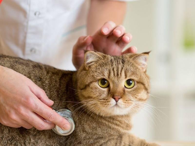 Кашель у кошек: определите тип у вашего животного и лечение